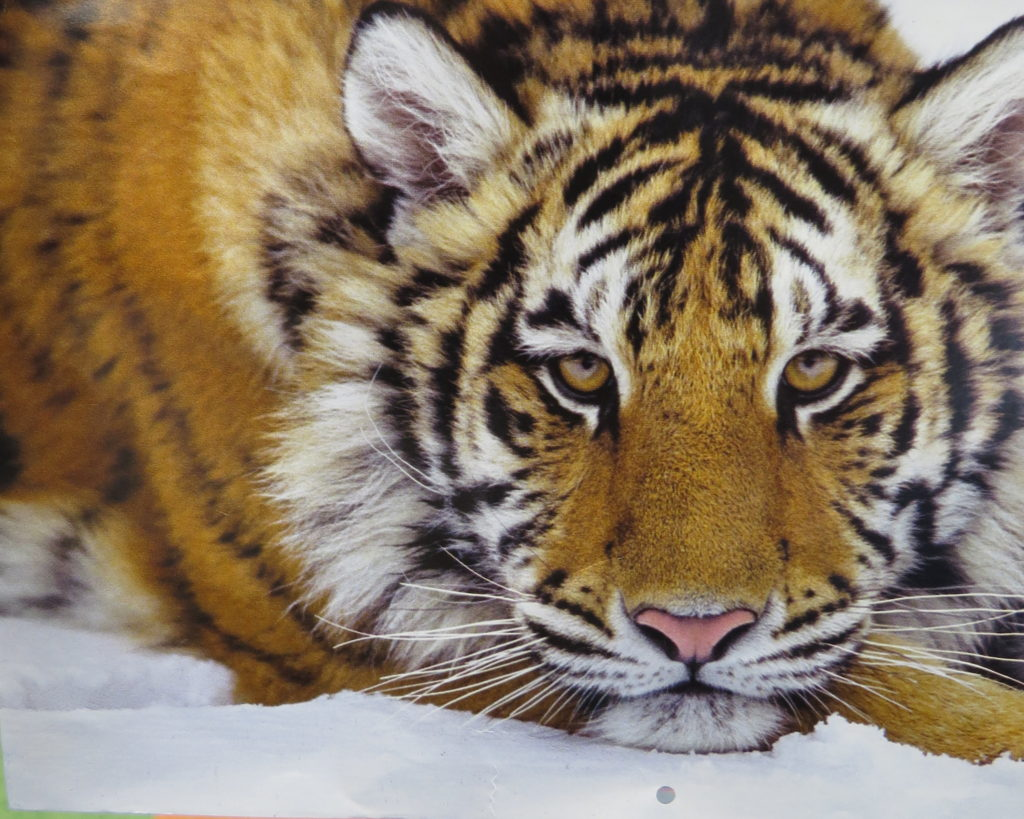 a picture of a tiger